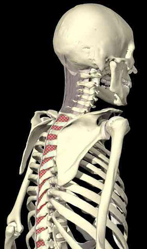 Ligaments of the Neck