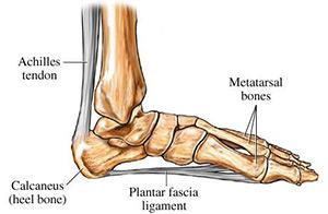 Plantar Fascia ligament